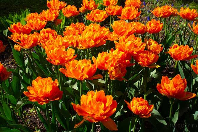 ярко оранжеые тюльпане в санкт-петербурге