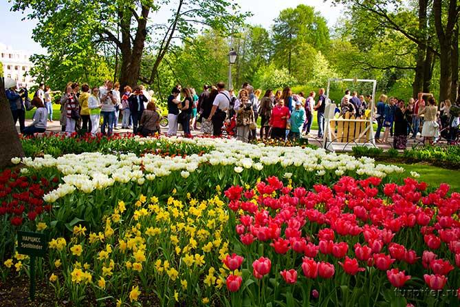 нарциссы и тюльпаны фотографируют в парке