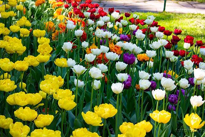 пять разных цветов тюльпанов спб