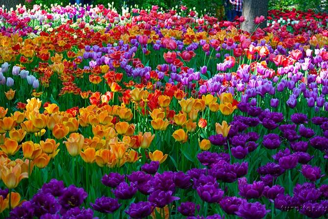 много разных цветных тюльпанов