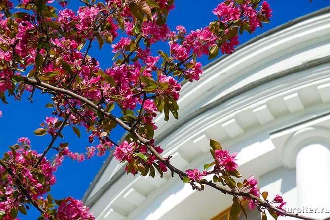 цветы яблони на фоне елагинова дворца